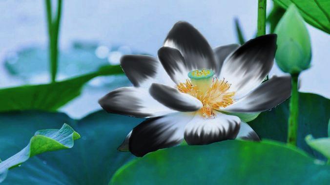 une fleur blanche d'eau douce qui se teinte en noir